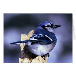 Beautiful Blue Jay bird Greeting Card