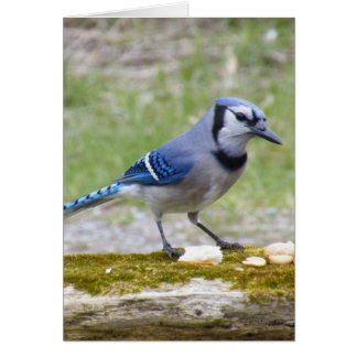 Beautiful Blue Jay bird Greeting Card