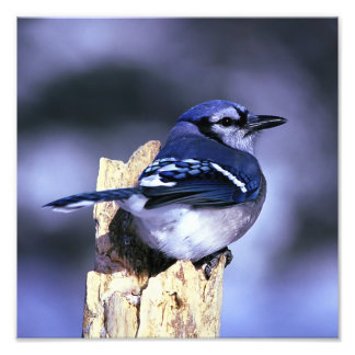 Beautiful Blue Jay bird Photo Print