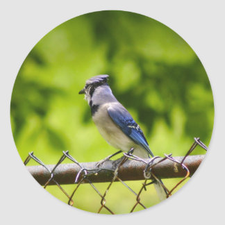 Beautiful Blue Jay bird Round Sticker