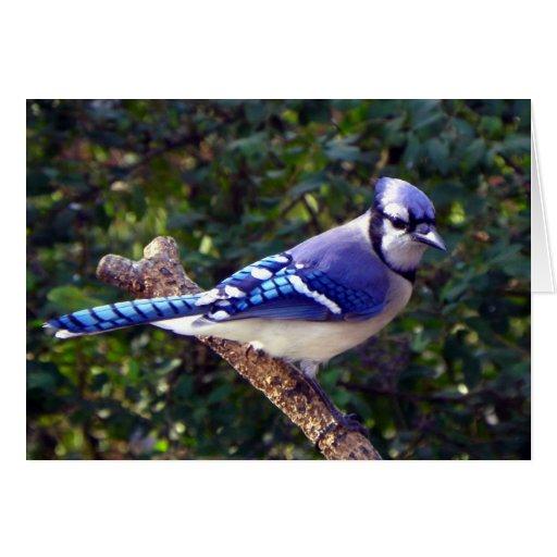 Beautiful Blue Jay Cards