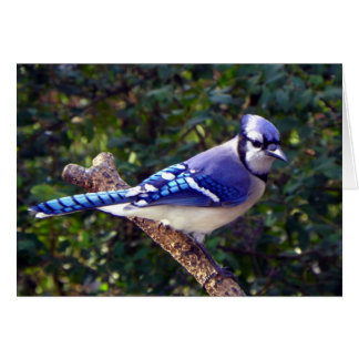 Beautiful Blue Jay Greeting Card