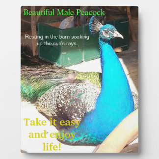 Beautiful Blue Male Peacock Barn EASEL Plaque