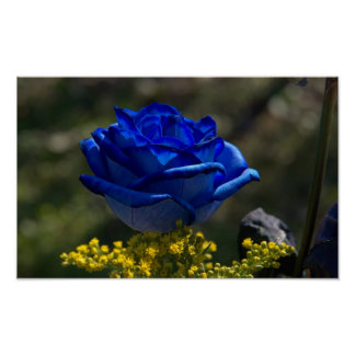 Beautiful Blue Rose 1 Poster