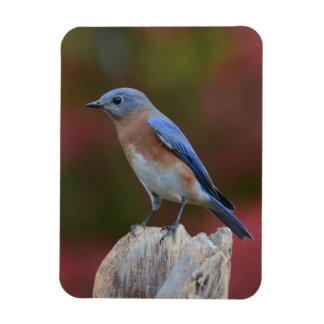 Beautiful Bluebird magnet