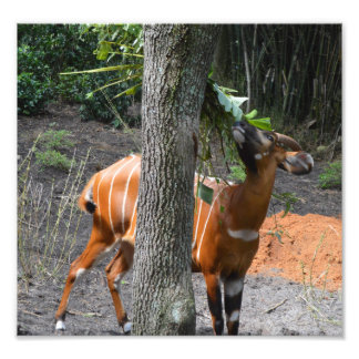 Beautiful Bongo Photo Print