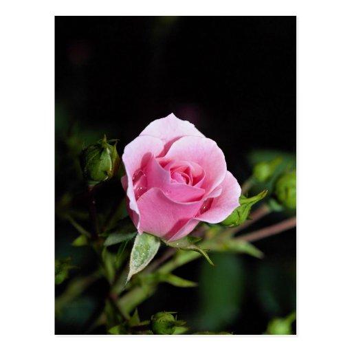 Beautiful Bonica Shrub Rose 'Meidomanac' Post Card