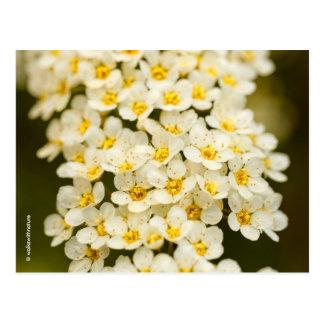 Beautiful Bridal Wreath Spiraea Postcard