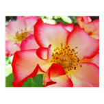 Beautiful Bright Colourful Roses Postcards Nature