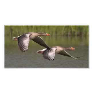 Beautiful Canadian grey geese migration Photograph