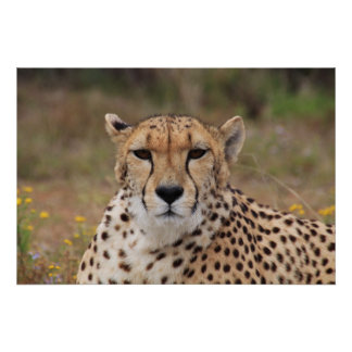 Beautiful cheetah portrait poster