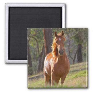 Beautiful chestnut horse photo portrait, gift square magnet
