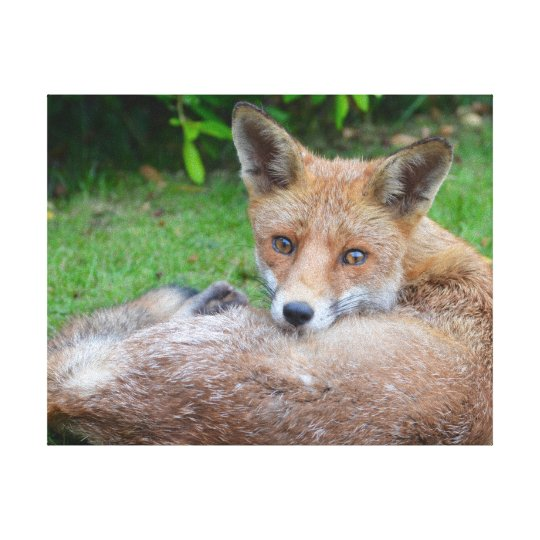 Beautiful close-up photograph of fox in garden canvas