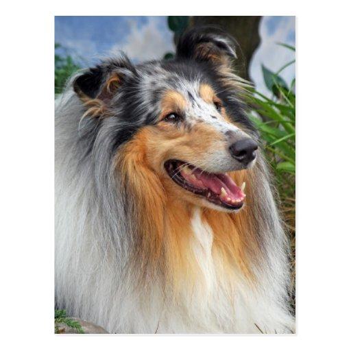 Beautiful Collie dog blue merle portrait postcard