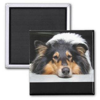 Beautiful Collie dog nose tri color magnet, gift Magnet