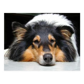 Beautiful Collie dog nose tri  portrait postcard