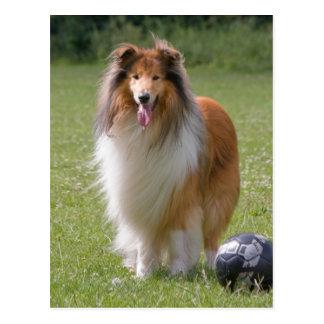Beautiful Collie dog portrait postcard