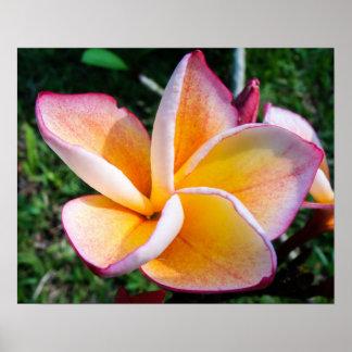 Beautiful colorful Plumeria flower Poster