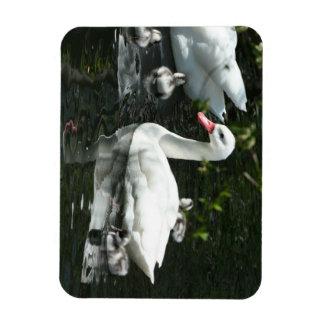 Beautiful Coscoroba Swan Family Magnet