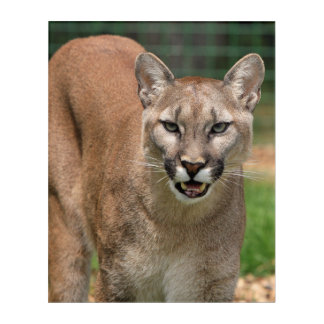 Beautiful cougar close-up acrylic wall art