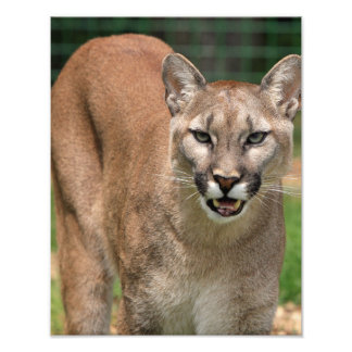 Beautiful cougar close-up photo