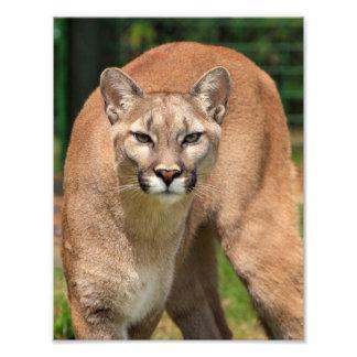 Beautiful cougar close-up photo print