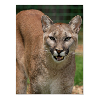 Beautiful cougar close-up poster