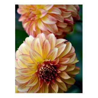 Beautiful dahlia flower print postcard