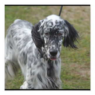 Beautiful English Setter Dog 13 Cm X 13 Cm Square Invitation Card