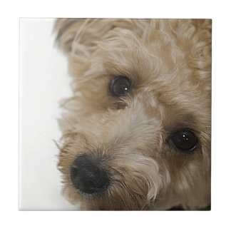 Beautiful Eyes of a Yorkie Poo Puppy Tile