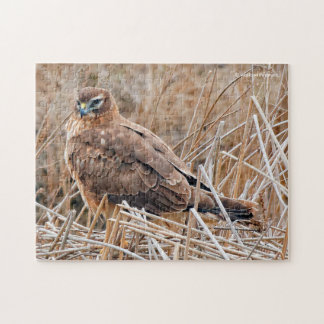 Beautiful Female Northern Harrier in the Marsh Puzzles