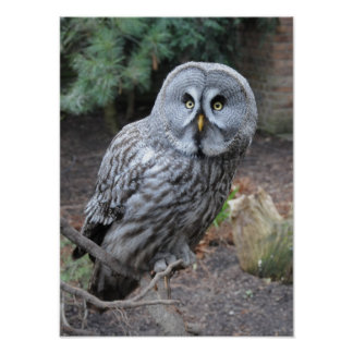 Beautiful grey owl poster