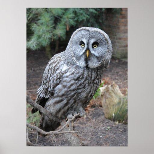Beautiful grey owl poster