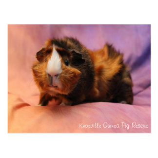 Beautiful Guinea Pig Postcard