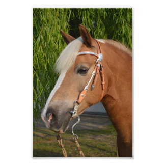 Beautiful haflinger horse portrait photo print