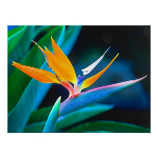 Beautiful Hawaii Bird of Paradise Poster