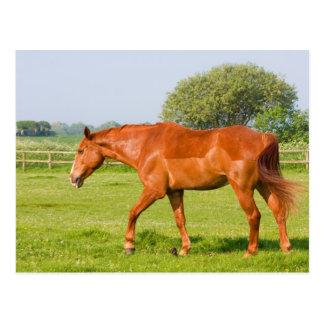 Beautiful horse in field photo postcard