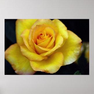 Beautiful Hybrid Tea Rose Print