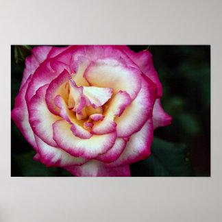 Beautiful Hybrid Tea Rose Posters