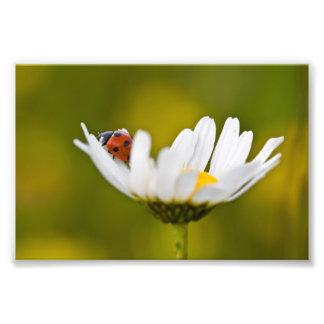 Beautiful Ladybird on Oxeye Daisy Photo Print 6x4