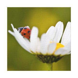 Beautiful Ladybug on Oxeye Daisy Canvas Print
