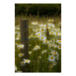 Beautiful Large Daisies Poster/Print Poster