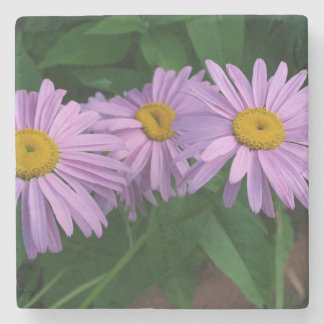 Beautiful Lavender Colored Painted Daisies Stone Coaster