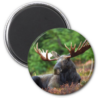 Beautiful moose with big antlers refrigerator magnet