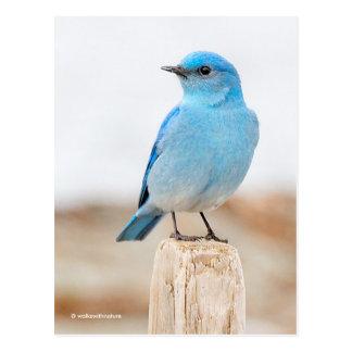 Beautiful Mountain Bluebird at the Beach Postcard