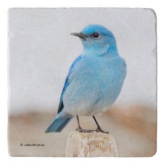 Beautiful Mountain Bluebird on the Beach Trivets