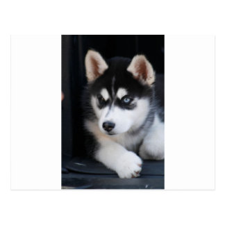 Beautiful One Blue Eye Siberian Husky 2 Postcard