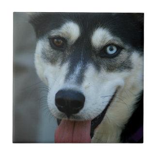 Beautiful One Blue Eye Siberian Husky Tile
