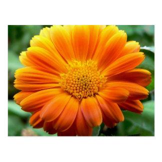 Beautiful Orange and Yellow Flower Postcard