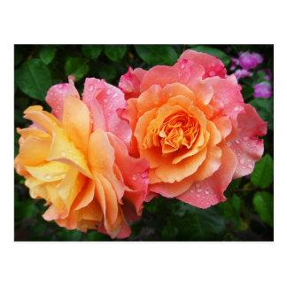 Beautiful orange-pink rose postcard